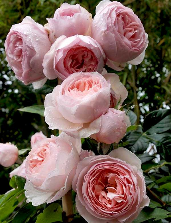 hoa-hong-leo-Heritage-Rose-4