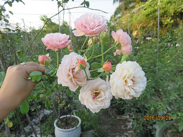 hoa-hong-leo-Leander-Rose-4a