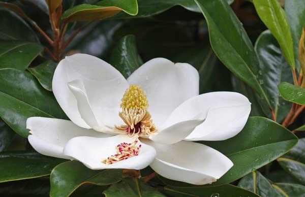 Cây sen đất – Hoa đẹp thường được trồng các công trình linh thiêng