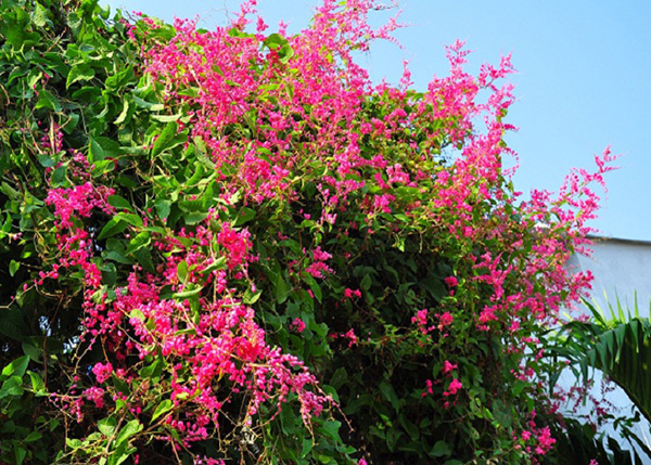 Cây hoa tigon hoa của tình yêu