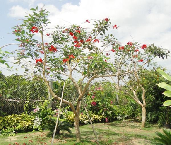 Cây osaka đỏ – Cây cảnh quan cho hoa đẹp