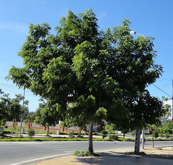 Cây sao đen – Cây trồng cảnh quan, công trình