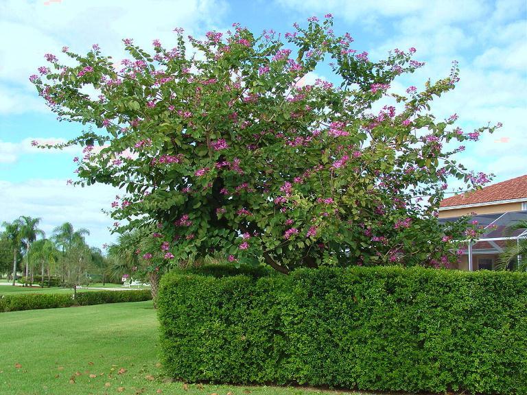 Cây móng bò cây công trình cho hoa đẹp