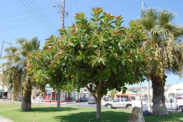 Cây đa búp đỏ – Cây cảnh truyền thống của người Việt