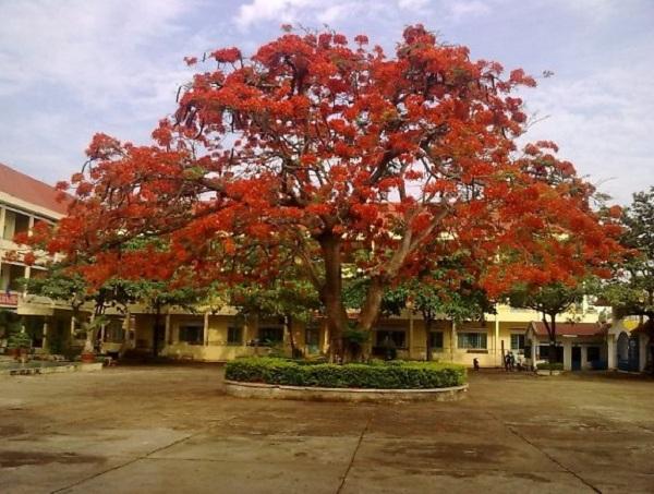 Cây phượng cây cảnh quan rực rỡ