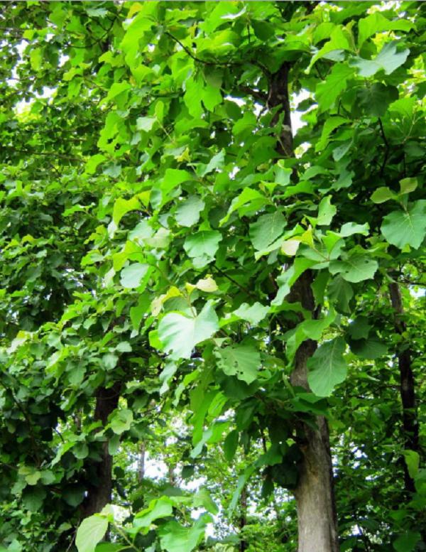 Cây tếch – Cây bóng mát có thể trồng lấy gỗ