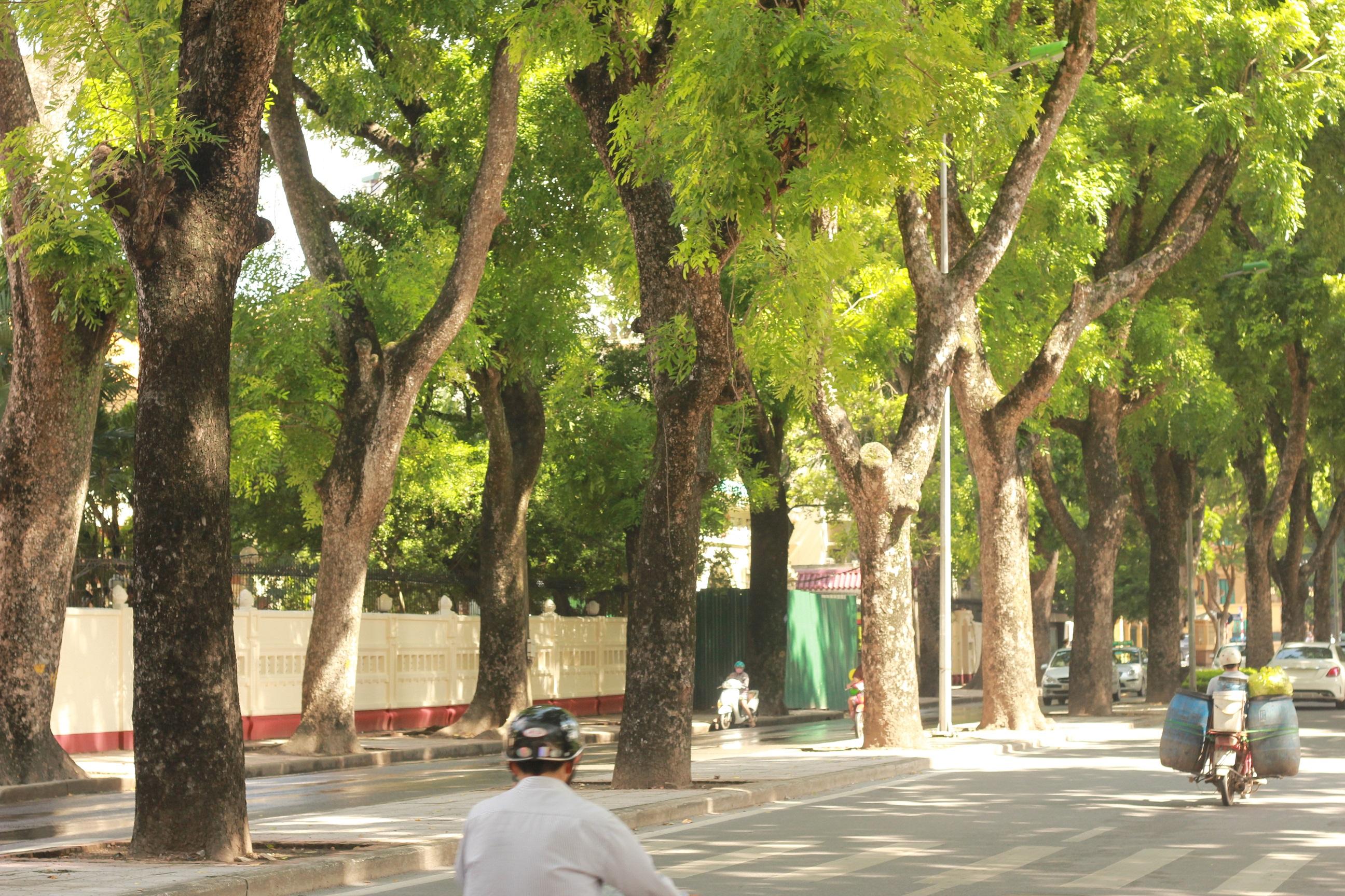 Cây xà cừ – Cây bóng mát công trình, đường phố