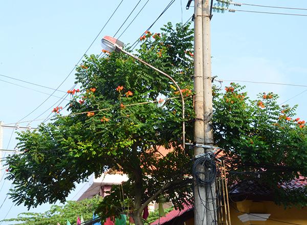 Cây Sò đo cam – Người trồng nên cân nhắc trước khí trồng