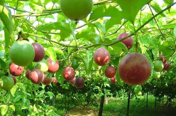 Cây chanh leo – Cây trồng giàn cách trồng và chăm sóc