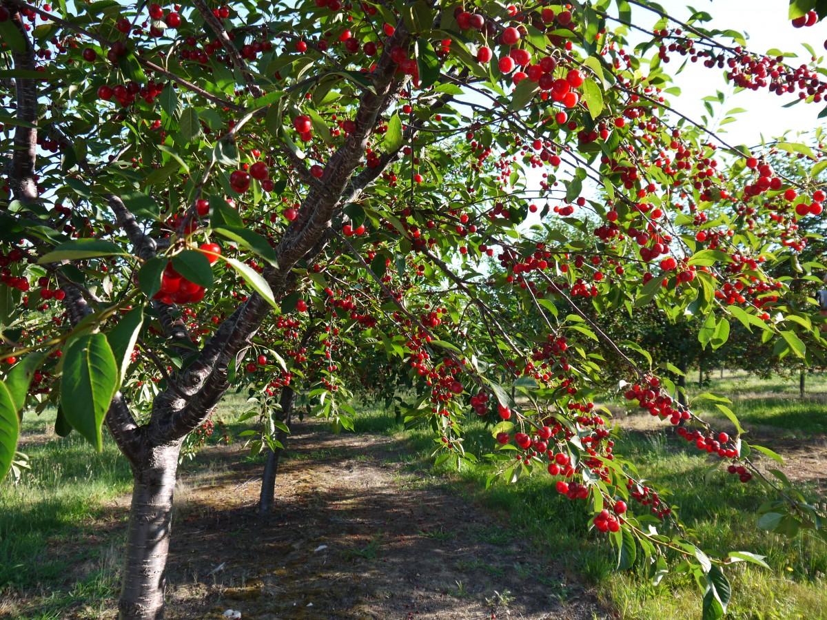 Vườn Cây Cherry Mỹ