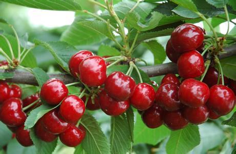 Cây cherry – Cây ăn quả độc đáo, nhiều giá trị kinh tế