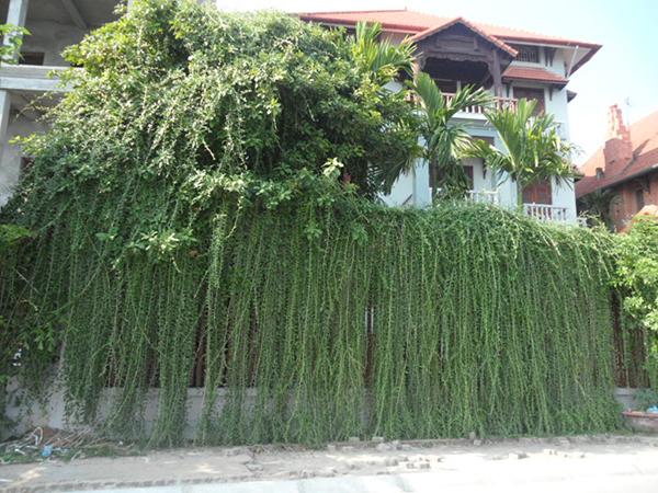 Cúc tần ấn độ – Cây siêu leo chống nắng cho ngôi nhà bạn