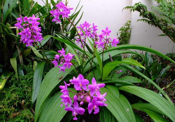 Cây chu đình lan – Cây cho hoa rực rỡ