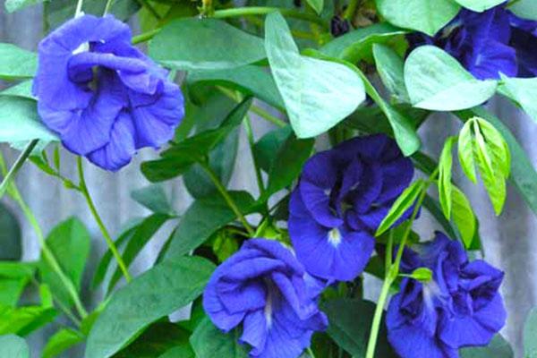 Cây đậu biếc – Hoa tím biếc hoa đẹp dịu dàng