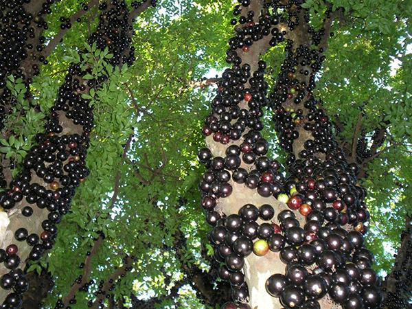 Cây nho thân gỗ, cây ăn quả độc đáo – Hướng dẫn cách trồng và chăm sóc