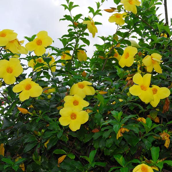 Hoa hoàng thảo – Hoa leo đẹp và dễ chăm sóc