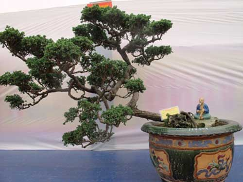 Các thế đẹp của cây tùng bonsai